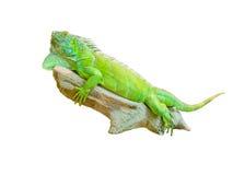 Green iguana lizard isolated on white Royalty Free Stock Image