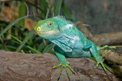 Green iguana lizard reptile Royalty Free Stock Photos