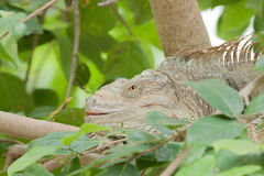 Green iguana lizard sleeping on tree Royalty Free Stock Images