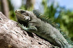 Green Iguana lizard. Royalty Free Stock Image