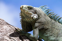 Green Iguana lizard. Royalty Free Stock Images