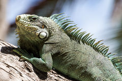 Green Iguana lizard. Stock Photography