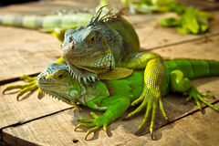 Green Iguana Lizards, a green tree lizard Royalty Free Stock Photo