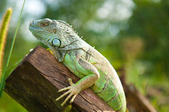 Green iguana on the log Stock Photo