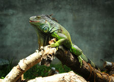 Green iguana look. Green iguana in crocodile bank in chenai, taminadu, india.They are tree dwelling animals and very good swimmers Royalty Free Stock Images