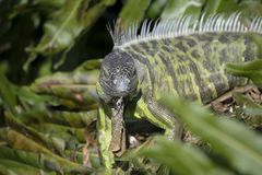 Green Iguana Looking at the Camera with Spikes and Dewlap stock photography