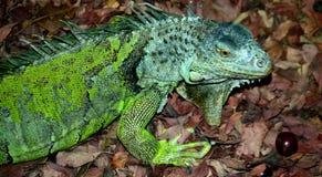 Green iguana looking for food Stock Photos