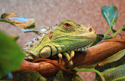 Green iguana lying on a branch Royalty Free Stock Photography