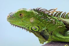 Green Iguana male beautiful multicolor animal, colorful reptile in south Florida stock image