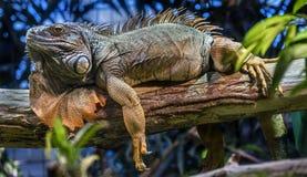 Green iguana male 6 stock photos