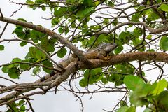 Green iguana iguana iguana, male, orange color, on seagrape Coccoloba uvifera tree branch - Topeekeegee Yugnee TY Park,