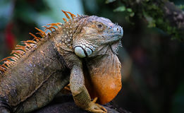 Green iguana male posing with mating color Stock Image