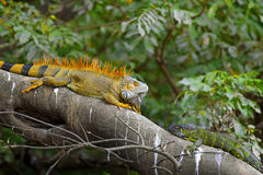 Green Iguana mating game Stock Images