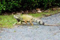 A big green iguana at a park stock photo