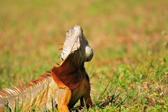 Green iguana moving head Stock Image