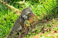 Green Iguana moving head & dewlap. Green iguana moving its head while walking in the grass of a park in South Florida Stock Photography