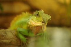 Green iguana in natural environment Royalty Free Stock Image