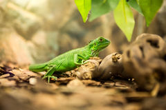 Green iguana in nature Stock Image