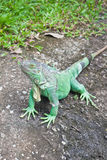 Green Iguana On Ground Stock Photo
