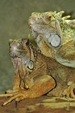 Green Iguana pair portrait. Royalty Free Stock Images