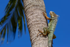 Green Iguana on a palm tree trunk Stock Image