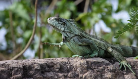 Green Iguana in the Pantanal, Brazil Stock Images