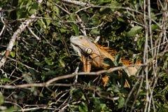 A green iguana peeking from a tree. A green iguana peeking out of a tree. The animal has a orange color Stock Photography