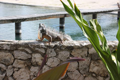 Green iguana perched on wall Royalty Free Stock Images