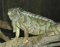 A Green Iguana Perches on a Branch Stock Images