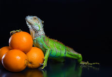 The green iguana and a pile of oranges Stock Image