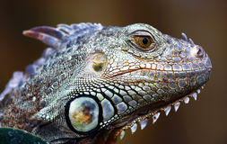 Green iguana portrait. Side portrait of green or common iguana Stock Images
