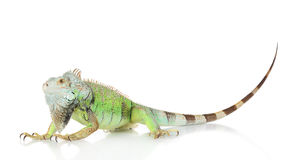 Green Iguana portrait. On a white background stock photography