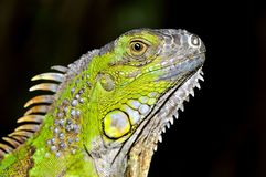 Green Iguana Portrait Royalty Free Stock Photos