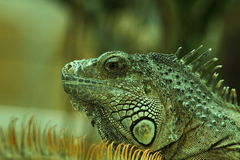 Green iguana  portrait 3. Stock Photos