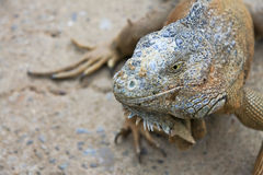 Green Iguana Portrait. Iguana at a farm in Roatan, Honduras royalty free stock image
