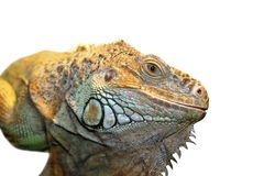 Green iguana portrait Stock Photo