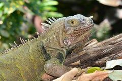Green Iguana portrait royalty free stock photos