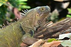 Green Iguana portrait stock image