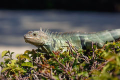 Green Iguana portrait sitting on branch Royalty Free Stock Photos