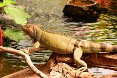 Green Iguana portrait Stock Photography