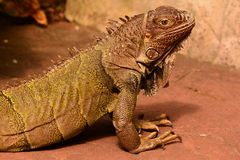 A Green Iguana. An iguana poses for its photo for the camera stock images
