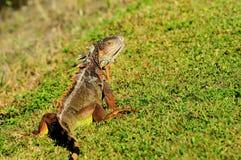 Green iguana posing Stock Photo
