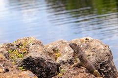 Green iguana posing Stock Images