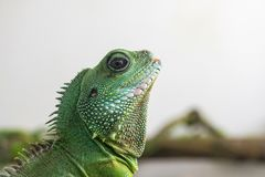 Green iguana profile detail. Lizard`s head close-up view. Small wild animal looks like a dragon.  stock image