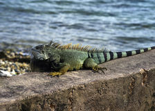 Green iguana, Puerto Rico Stock Images