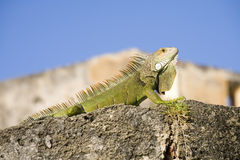 Green Iguana from Puerto Rico Stock Images