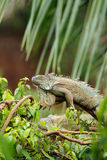 Green iguana in rain forest Royalty Free Stock Photography