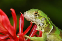 Green Iguana Red Ginger Flower Stock Image