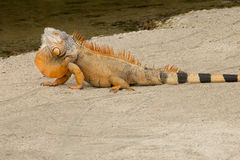Green Iguana (red variation) Stock Images