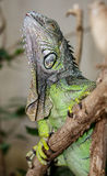 Green Iguana Reptile Royalty Free Stock Photo